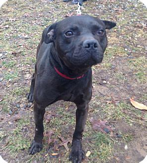 pug and pitbull mix quantum adopted 463xxxurgent bloomfield ct pit bull terrier pug mix