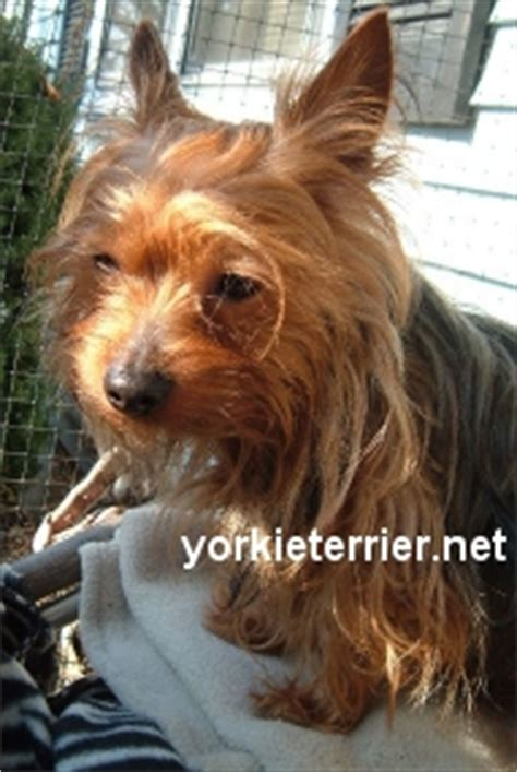 do yorkies cause allergies line imported terriers