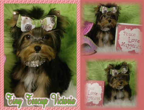 teacup yorkies for sale oklahoma lori s loveable pups akc yorkies teacup yorkie chocolate yorkie golden yorkie