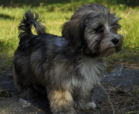havanese dogs temperament havanese temperament what s about em what s bad about em breeds picture