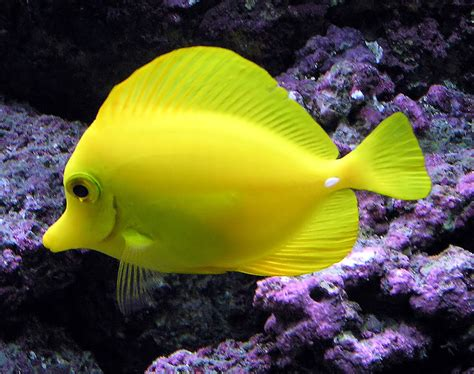 brightly colored fish neon yellow fish www imgkid the image kid has it