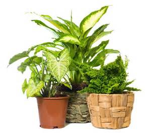 common houseplants that make good air purifiers