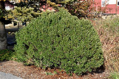 shamrock inkberry holly ilex glabra shamrock