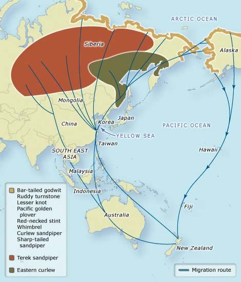 american migration from asia map a gif map of the migration routes of 118 species of birds