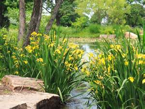 Plants For Wet Conditions - whether the site is a permanent pond or occasional standing water yellow flag iris can handle