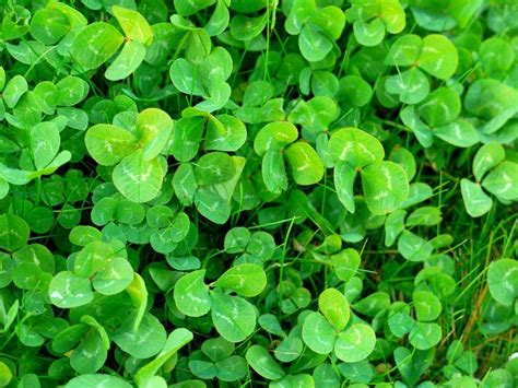 shamrock green shamrock wallpapers wallpaper cave