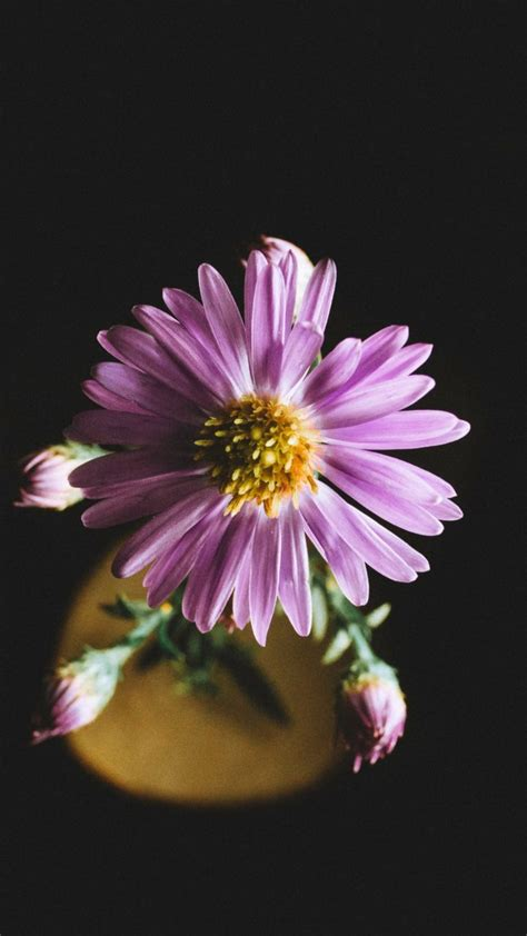 aster flowers wallpapers my note book aster flower petals wallpaper 1440x2560