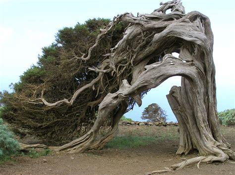 dan wood häuser bilder juniperus communis bremmer boomkwekerijen