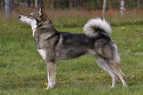 east siberian laika dog breed