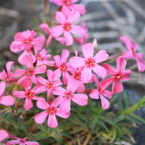 creeping phlox pink flowers picture free photograph photos public domain