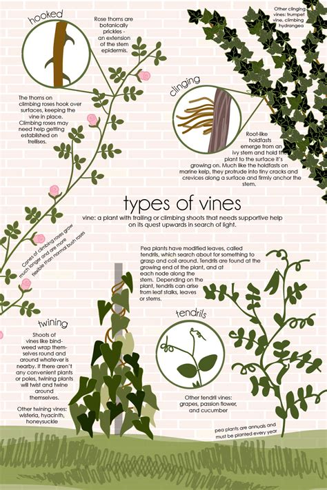 types of vines feed the data - Different Types Of Climbing Plants