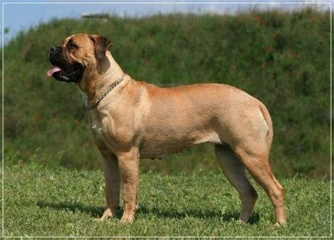 No Shed Large Dogs by 20 Low Maintenance Breeds