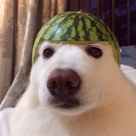 dogs and watermelon samoyed wearing a watermelon don t why this is but it is samoyeds