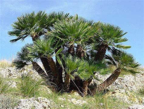 nana da giardino palma nana piante da giardino caratteristiche della