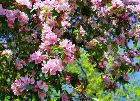 blossoming tree with pink beautiful flowers stock photo