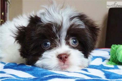 havanese breeders san diego dogs and puppies for sale and adoption oodle marketplace