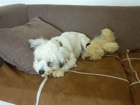 cyprus poodle lifespan poodle doodle do home page