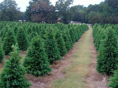 xmas tree farms covingtom 17 best images about covington ga on with the wind mansions and pork sausages