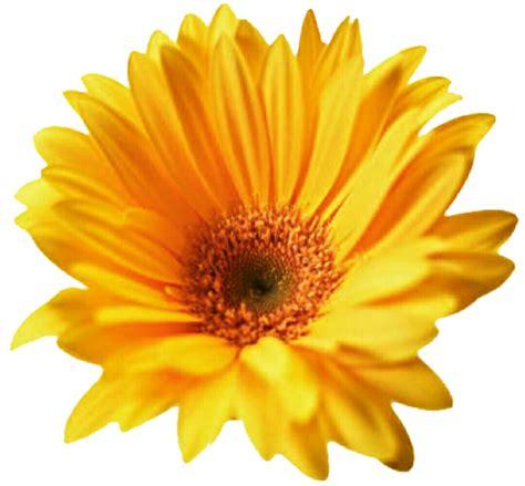 fiori clip yellow gerbera clip cliparts