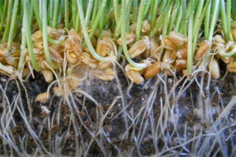 mycorrhizae fungi molasses rock phosphate garden