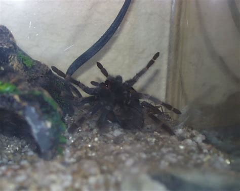 Can Spiders Shed Their Skin by Shedding Tarantula