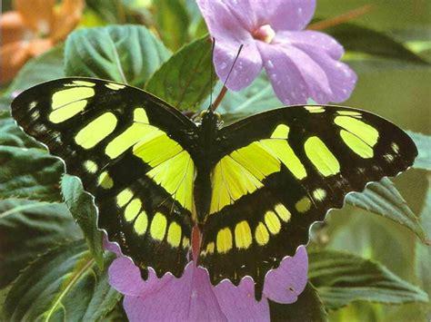 black wallpaper with yellow butterflies wallpaper butterfly black and yellow butterfly