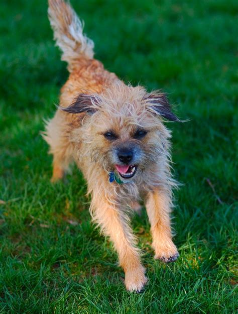 westie breed border terrier breed profile dogcast radio