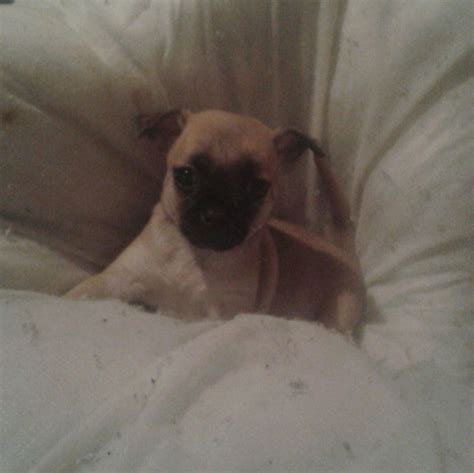 chiwawa cross pug chihuahua cross pug caerphilly caerphilly pets4homes