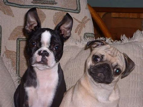 pugs and boston terriers 1000 ideas about boston terriers on terriers boston terrier puppies and