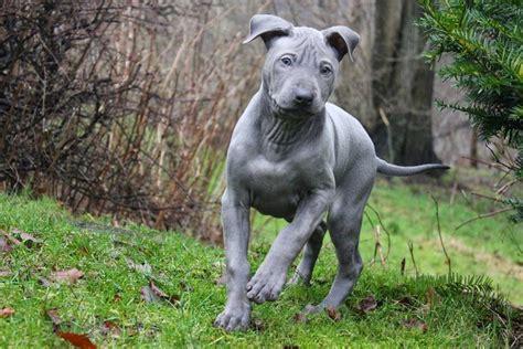 de perros grandes follando