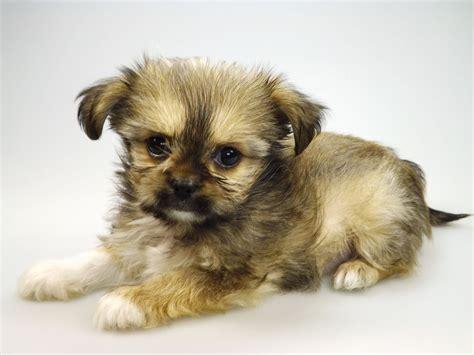 chihuahua x shih tzu puppies look so chihuahua x shih tzu puppies hull east of pets4homes
