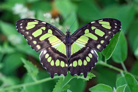 new butterfly green siproeta stelenes