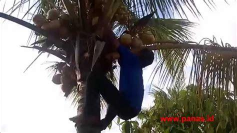 alat pemanjat pokok kelapa panjat pohon kelapa lucu funnydog tv