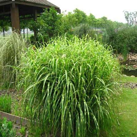 Fontaine Jardin Zen 237 by Miscanthus Sinensis Zebrinus Plantes Ext 233 Rieures