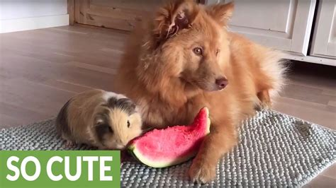 Out Doesn T To Pigging Out Fit And Fabulous And Guinea Pig Slice Of Watermelon