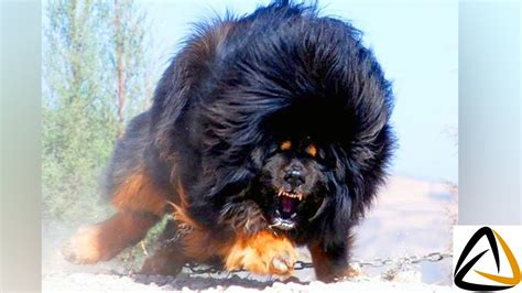 top 10 dangerous dog breeds in the world top 10 most dangerous dog breeds in the world 2017 autos