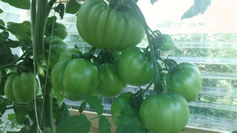 deep water hydroponic system easy  grow tomatoes youtube
