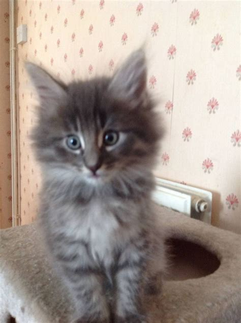 cats for sale pedigree forest cats for sale ely