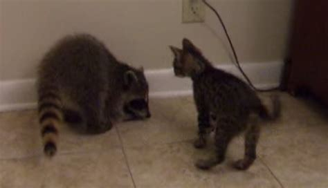raccoon vs bff match kitten vs baby raccoon cats vs cancer