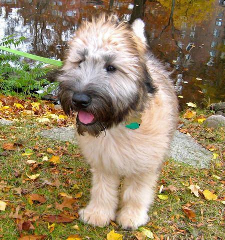 soft coated wheaten terrier puppy gilbert the soft coated wheaten terrier puppies daily puppy