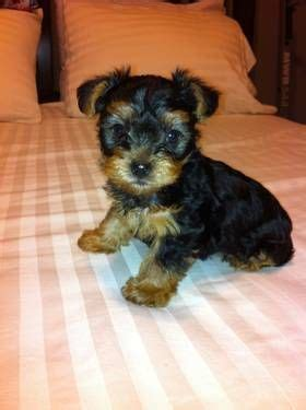 yorkie puppies 3 weeks 7 week purebred yorkie puppy for sale for our family someday