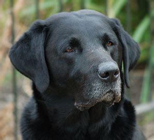 black lab puppies for free free photo of black labrador retriever