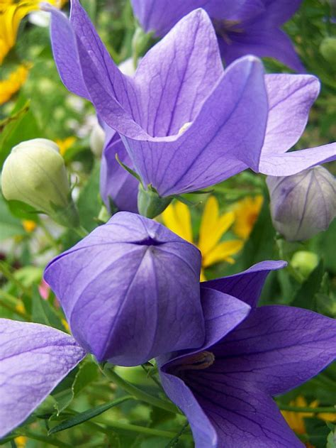 balloon flower flowers and things pinterest