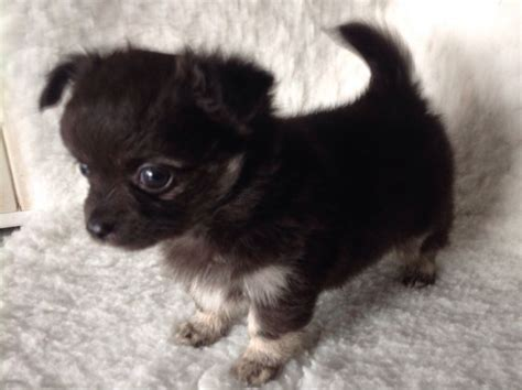 chihuahua puppies for sale chihuahua puppy for sale gloucester gloucestershire