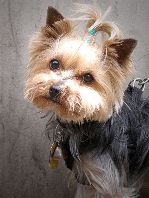 yorkie blindness diabetes in terriers and treatment