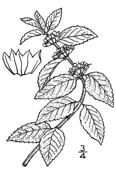mint leaf coloring page large image for mentha arvensis wild mint usda plants