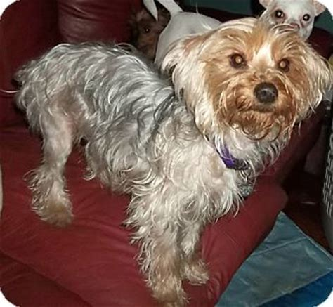 yorkie poodle mix for adoption yorkie terrierpoodle miniature mix for adption in st breeds picture