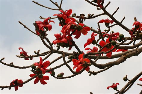 Red Flowering Bushes And Shrubs - bombax red silk cotton tree