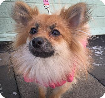 pomeranian rescue ny new york ny pomeranian mix meet a for adoption