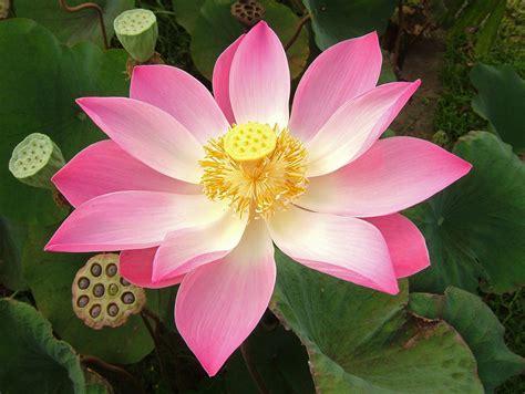 lotus flower india indian lotus in ubud bali hasu 蓮 indian lotus
